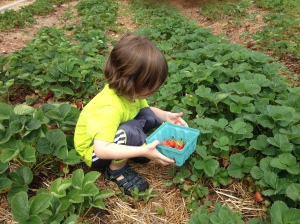 Picking strawberries. (which were delicious, by the way!)